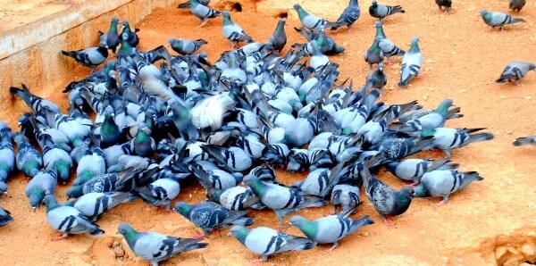 Голуби всегда возвращаются в свои «локальные» гнёзда